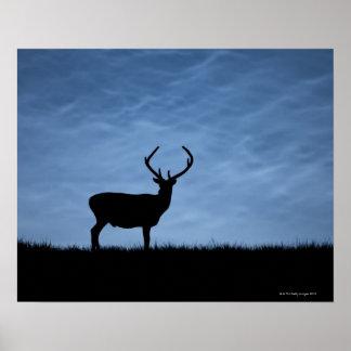 Macho silueteado del ciervo común en la noche posters