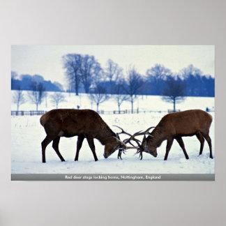 Machos del ciervo común que cierran los cuernos, N Poster