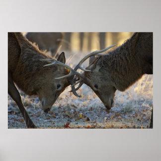 Machos Rutting del ciervo común Posters