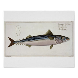 Mackerel (Scomber Scomber) plate LIV from 'Ichthyo Posters