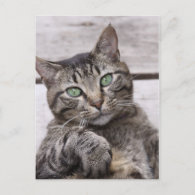 Mackerel Tabby Cat Postcards
