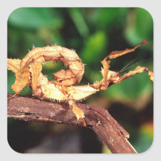 Macleay's Spectre (Spiney Stick Insect), Square Sticker