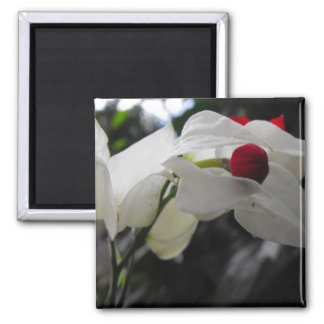 Macro Bleeding Heartwine Flower 2 Inch Square Magnet