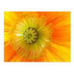 Macro de la amapola anaranjada con la profundidad  postal