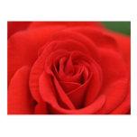 Macro del rosa rojo tarjetas postales