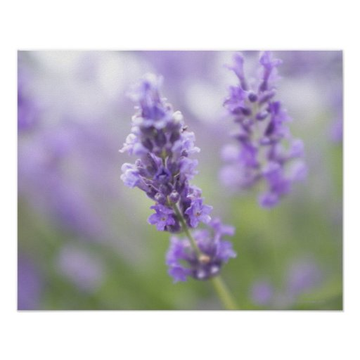 Macro image of lavender flowers with very poster