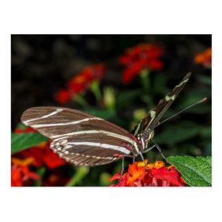 Macro of a Zebra Longwing Butterfly Postcard
