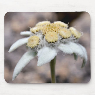 Macro of edelweiss flower mouse pad