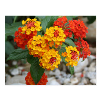 Macro Of Shrub Verbenas or Lantanas Postcard