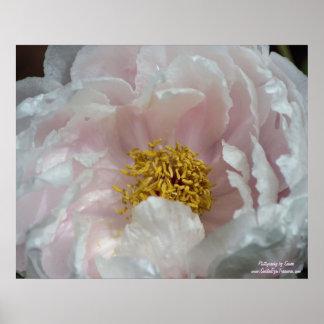 Macro Peony Center Flower Poster Print