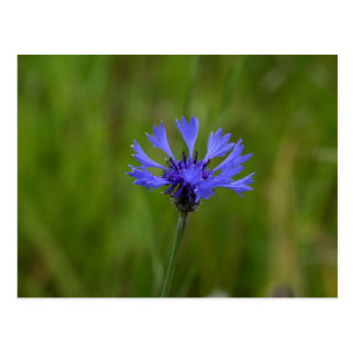 Macro photo of a cornflower (Centaurea cyanus) Postcard