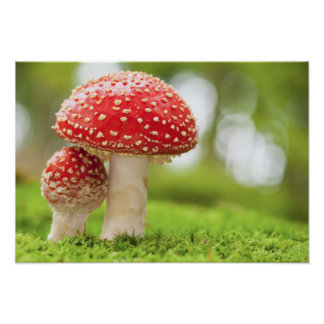 Macro Photo Of Amanita Muscaria In Forest Poster