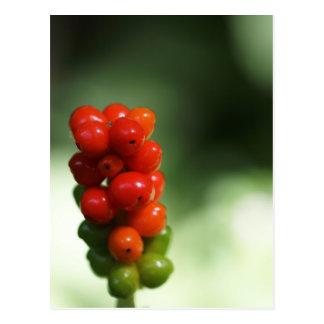 Macro photo of fruits of Arum maculatum Postcard