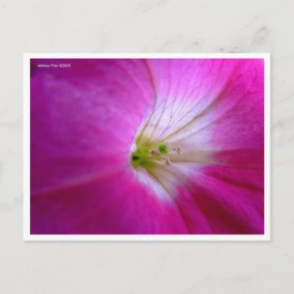 Macro Pink Flower Postcard postcard