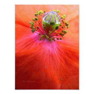 Macro roja de la flor de la amapola impresiones fotograficas