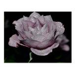 Macro Rose-014 Tarjetas Postales