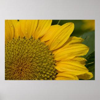 Macro Sunflower With Raindrops Poster
