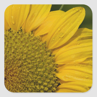 Macro Sunflower With Raindrops Square Sticker
