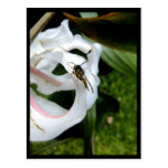 Macro Wasp Caught on Curling Lilly Postcard