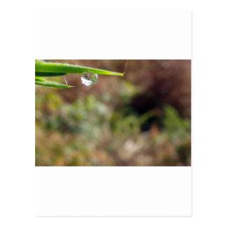 Macro Water Drop on Gorse Postcard