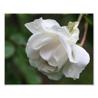 Macro White Rose Raindrops 10x8 Flower Print Photo Art