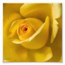 Macro Yellow Rose Photo Print