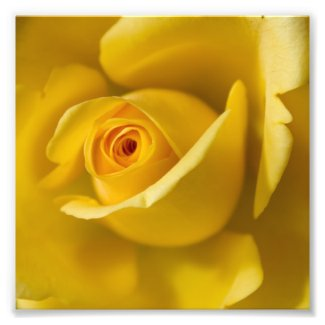 Macro Yellow Rose Photo Print