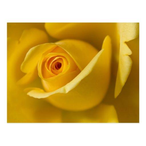 Macro Yellow Rose Post Card