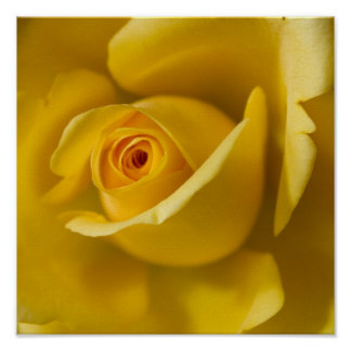 Macro Yellow Rose Poster