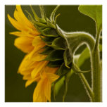 Macro yellow sunflower poster