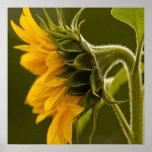 Macro yellow sunflower print