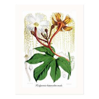 Macrocarpa de Hodgsonia Postales