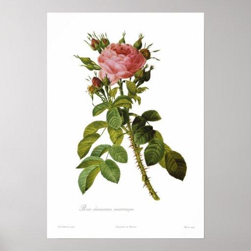 Macrocarpa del damascena de Rosa Poster