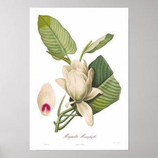 Macrophylla de la magnolia impresiones
