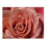 Macros Antique Rose Postcard