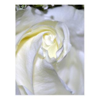 Macros White Rose-Jun2011 Post Card