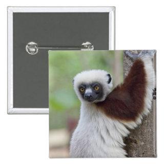 Madagascar, Ankarafantsika Reserve, Ampijoroa. Button