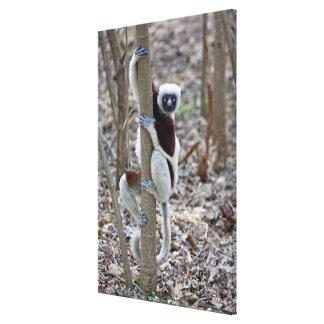 Madagascar, Ankarafantsika Reserve; Ampijoroa; Gallery Wrapped Canvas