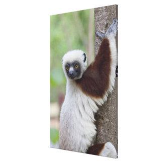 Madagascar, Ankarafantsika Reserve, Ampijoroa. Gallery Wrapped Canvas