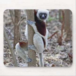 Madagascar, Ankarafantsika Reserve; Ampijoroa; Mouse Pad