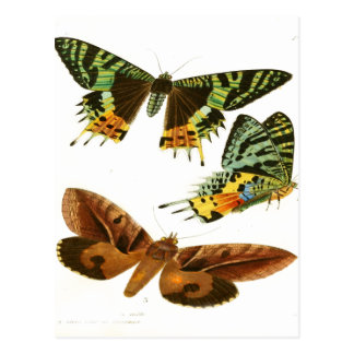 Madagascar Butterflies Postcard