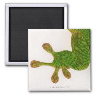 Madagascar day gecko (Phelsuma madagascariensis 2 2 Inch Square Magnet