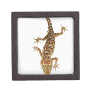 Madagascar ground gecko (Paroedura pictus) on Premium Gift Box