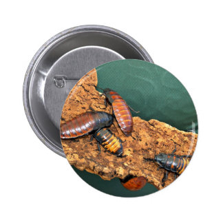 Madagascar hissing cockroaches pin