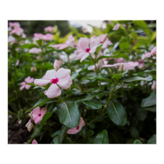 Madagascar Periwinkle Floral Posters
