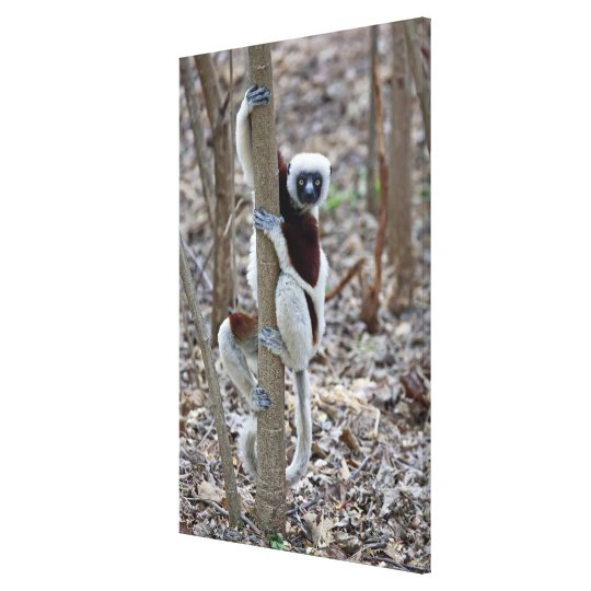Madagascar, reserva de Ankarafantsika; Ampijoroa; Impresión En Lienzo
