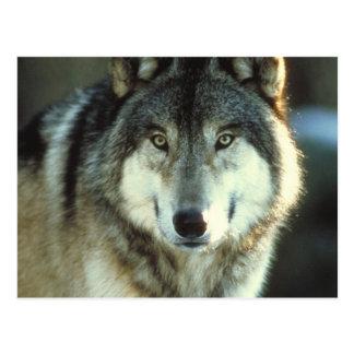 Madera-Lobo de JungleWalk.com Postales