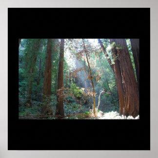 Maderas California de Muir Poster