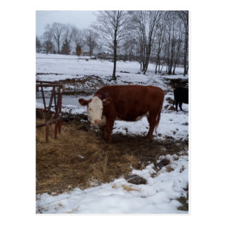 madison cow post card