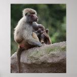 Madre del babuino que cuida sus jóvenes posters